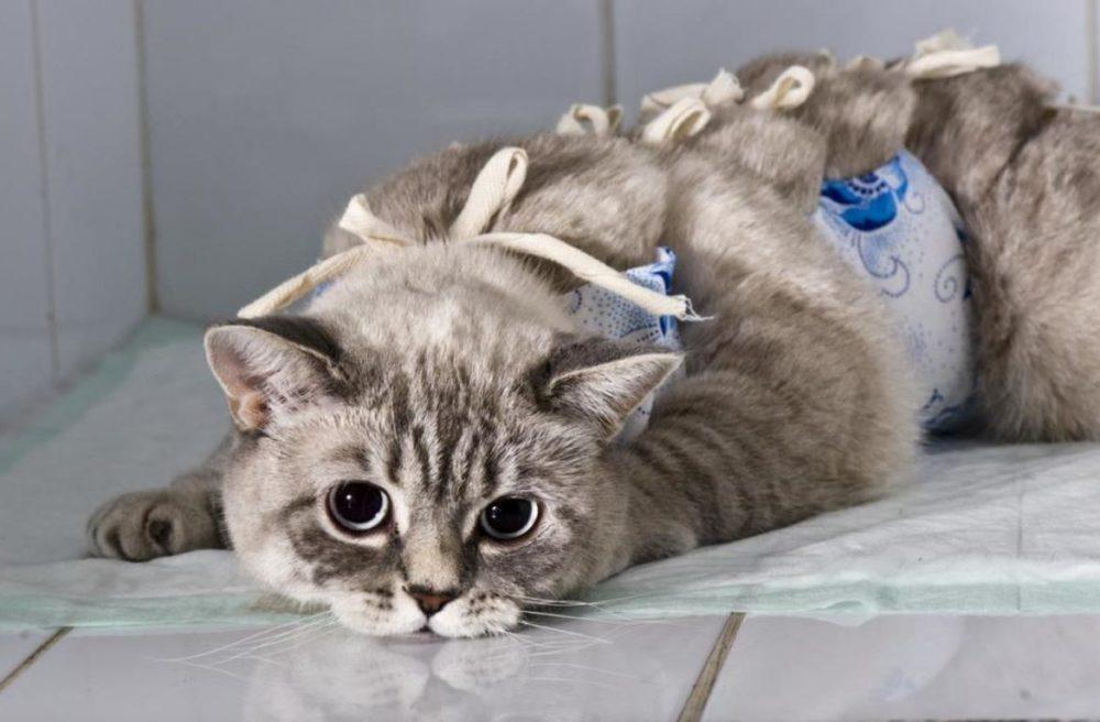 Стерилизация (Кастрация) кошки | OtzoMir.com